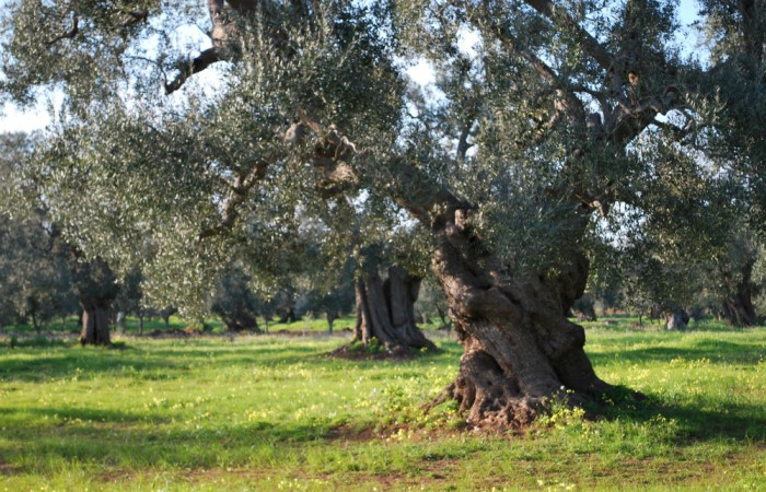 Protecting Extra-Virgin Olive Oil