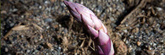 Albenga Violet Asparagus
