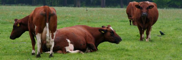 Brandrood Cattle