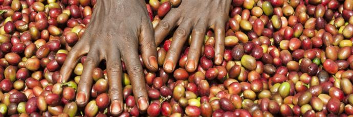 Harenna Forest Wild Coffee
