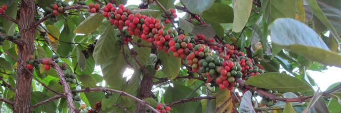 Luwero Kisansa Coffee