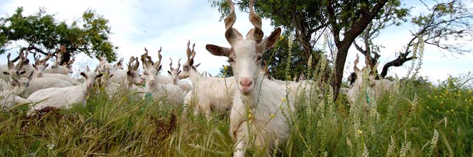 Girgentana Goat
