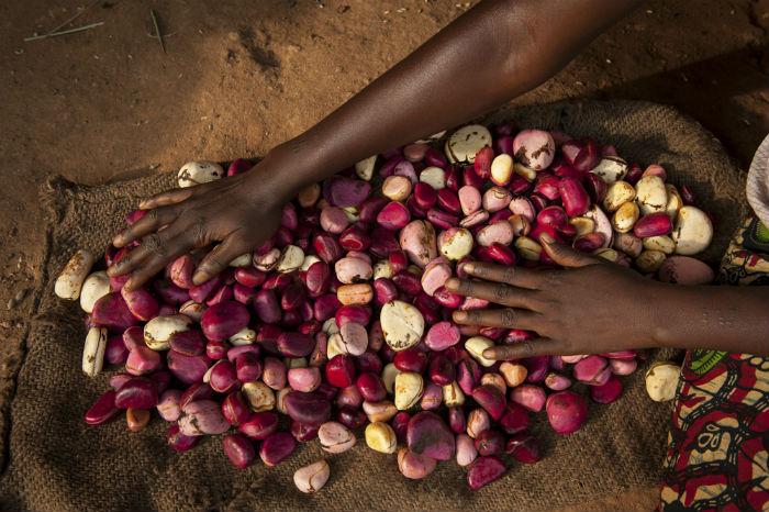 Slow Food in Sierra Leone: viaggio tra i coltivatori della noce di cola