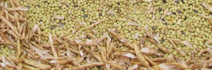 Belluna Valley Giàlet Bean