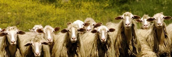 Shepherds' Fiore Sardo