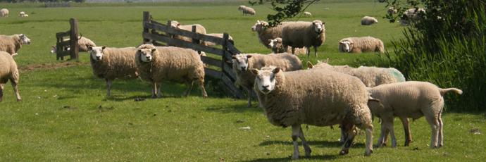 Texel Sheep Cheese