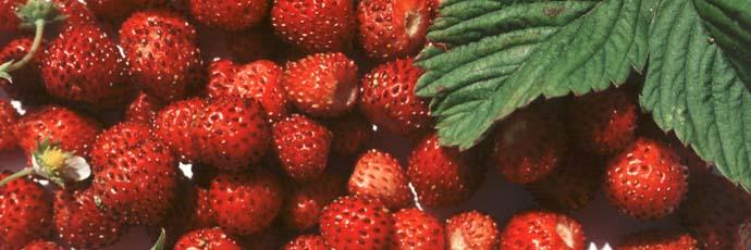 Fragolina di Sciacca e Ribera