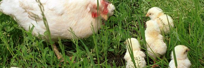 Piedmontese Blonde Hen and Saluzzo White Hen