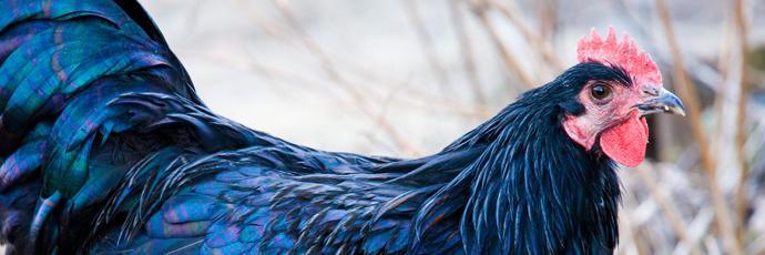 Gallo nero della val di Vara