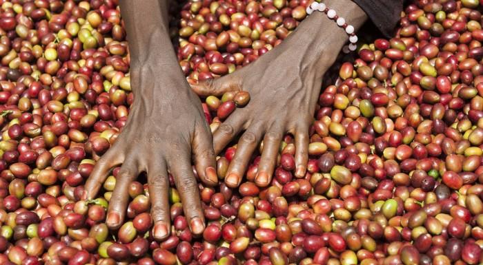 Il caffè selvatico della foresta di Harenna (Presidio Slow Food)