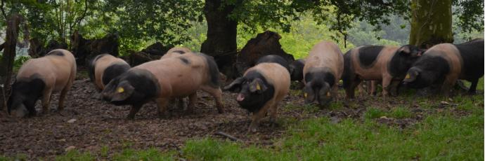Kintoa Basque Pig