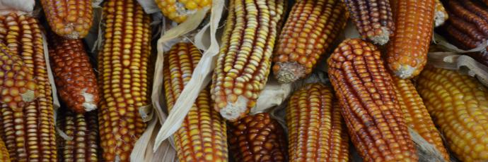 Basque Grand Roux Corn