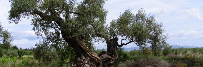 Olio extravergine di olivi millenari del Maestrat