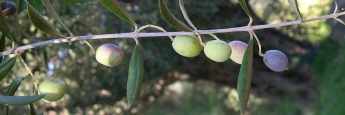 Minuta Olive