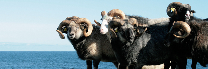 Villsau Sheep