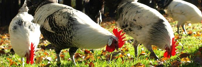 Chaam Chicken