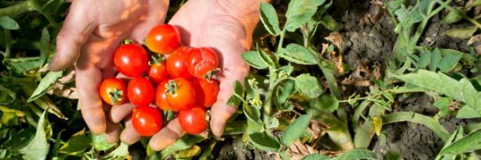 Pomodoro siccagno della valle del Bilìci