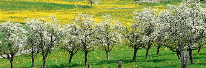 Tafeljura Plum Orchards