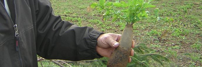 Pardailhan Black Turnip