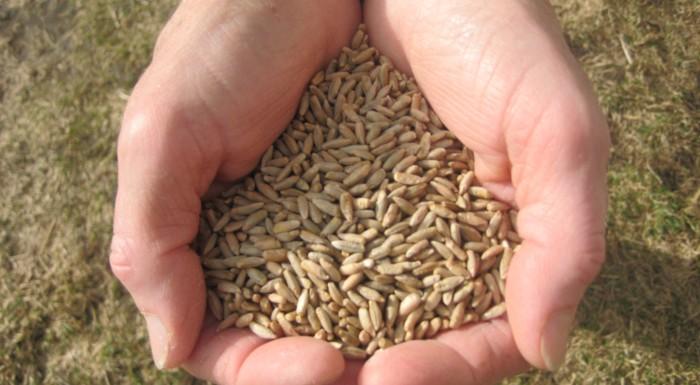 Storia di semi, di terra e di pane. La segale dei Tauri del Lungau, Austria (Presidio Slow Food)