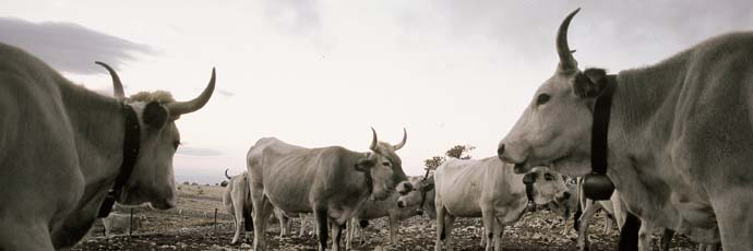 Vacca podolica del Gargano