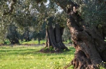 Associati a Slow Food, sostieni il Presidio dell'olio extravergine italiano