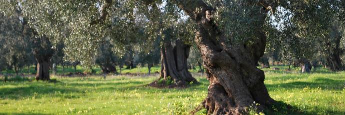 Italian Extra-Virgin Olive Oil