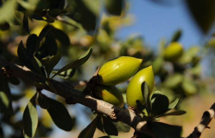 Culinary Argan Oil: A Little-Known Delicacy from a Threatened Ecosystem