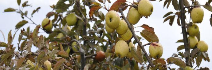 Antiche mele dell'Etna