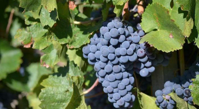 Cépages d'hier pour vins d'aujourd'hui