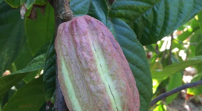 El cacao porcelana de la Sierra Nevada de Santa Marta