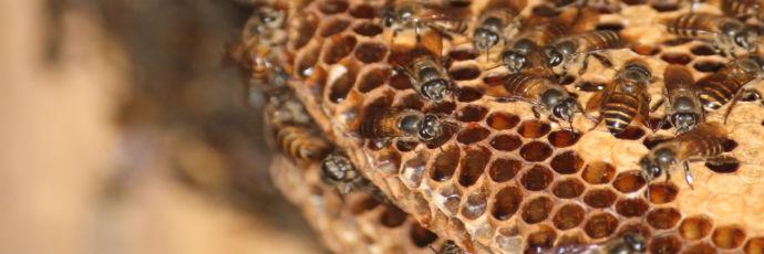 Miele cingagoler di ape cerana