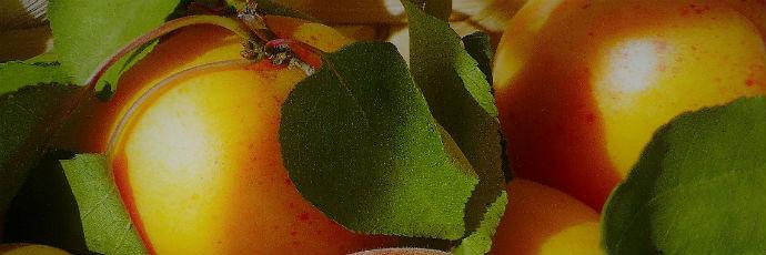 Vecchie varietà di albicocche del Vesuvio