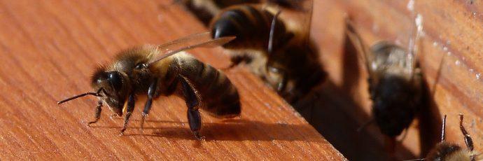 Belgian Black Bee