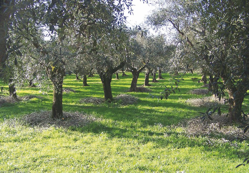olivo quercetano