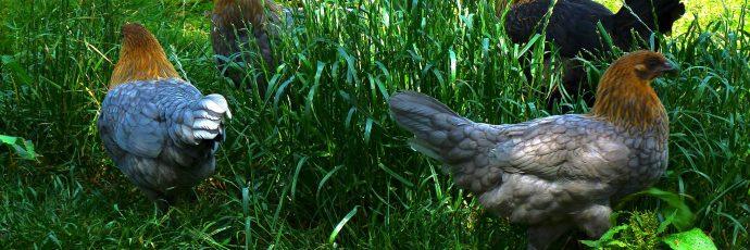 Ardennes Chicken