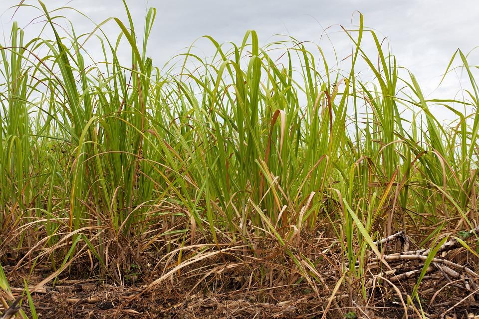 sugar-cane-haiti-clairin-rum