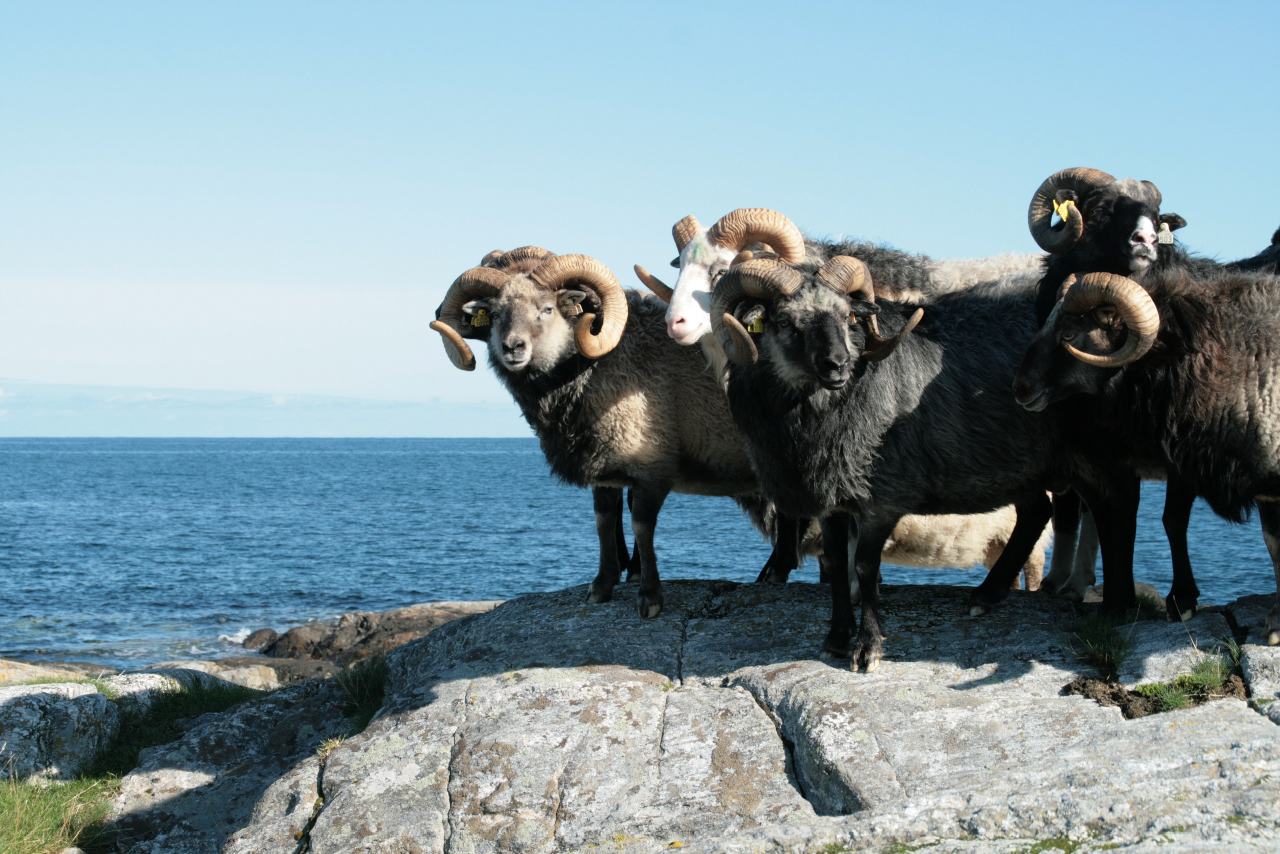 villsau-sheep-norway-meat-presidium