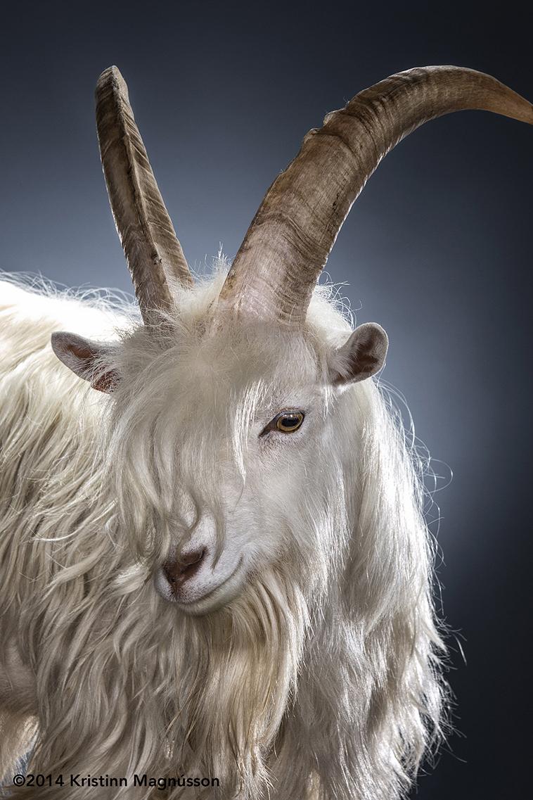 iceland-food-skyr-traditional-ark-of-taste-icelandic-goat