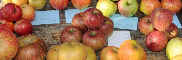 Antiche mele dell'Alto Friuli