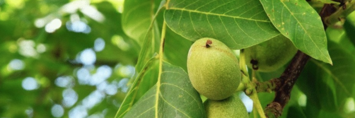 Sorrento Peninsula Walnut