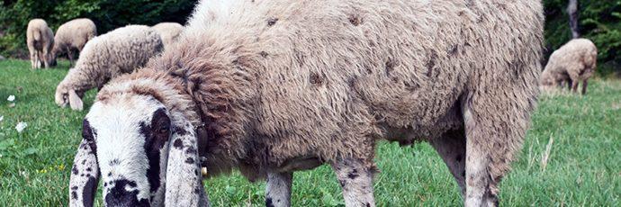 Cornigliese Sheep