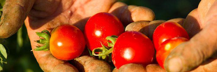 Ericine Valley Pizzutello Tomato