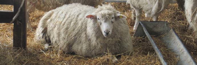 Romney Salt Marsh Lamb