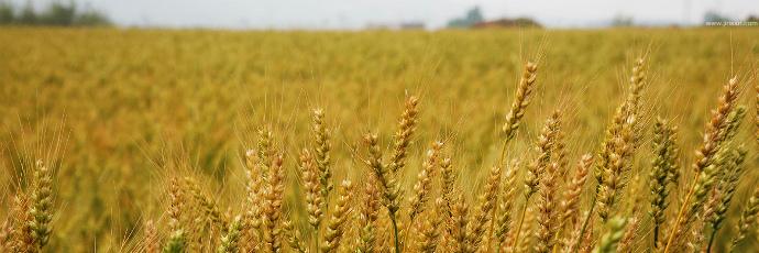 Anjeunbaengi Wheat
