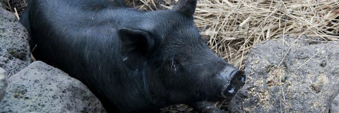 Jeju Black Pig