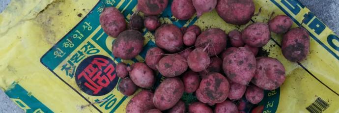 Ulleung Red Potato