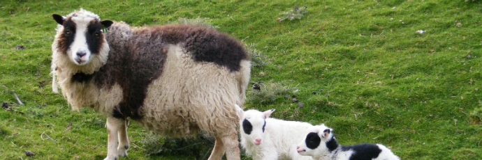 Pecora delle Shetland