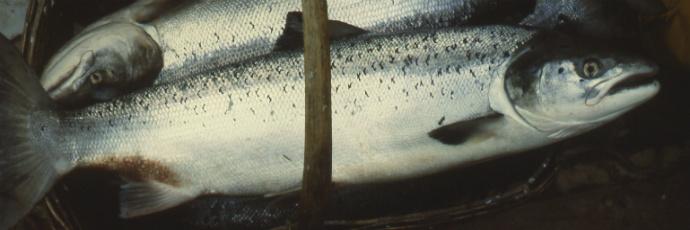 Adour Wild Salmon