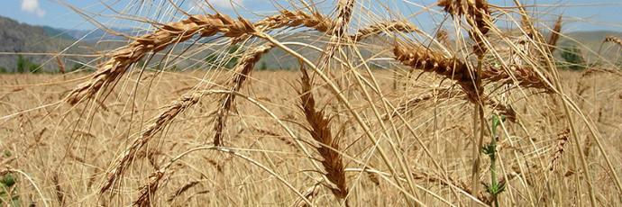 Akhaltsikhis Tsiteli Doli Wheat